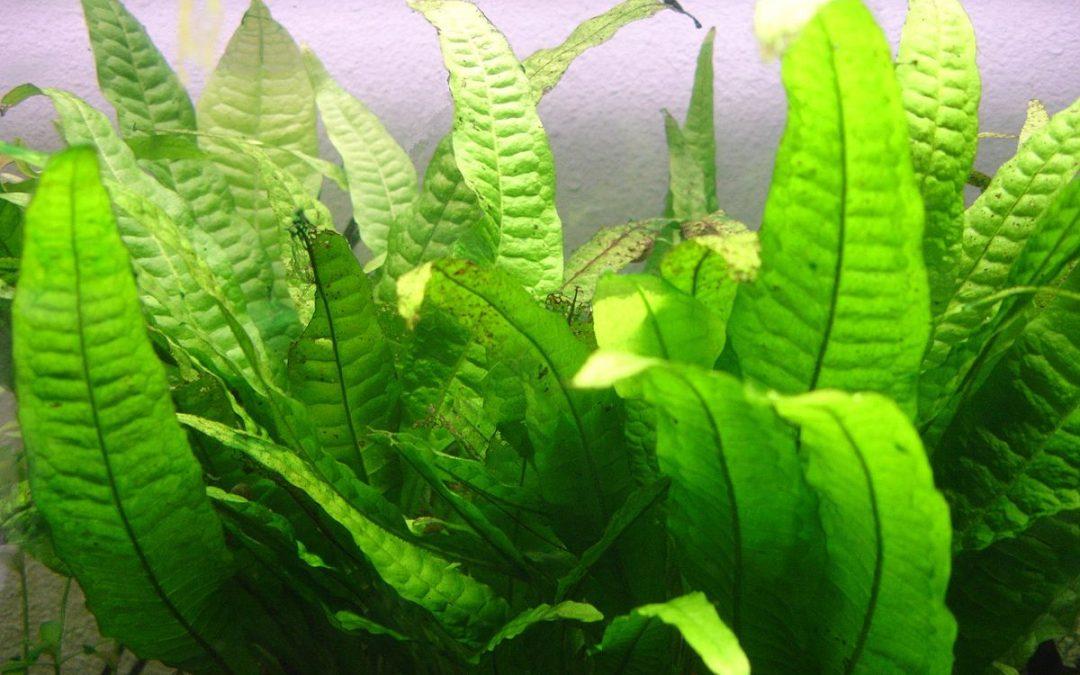 La fougère de java – Microsorum pteropus