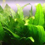 La fougère de java - Microsorum pteropus