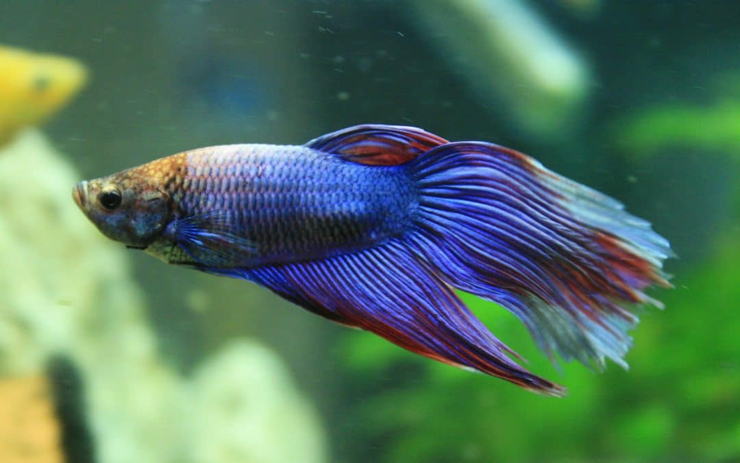 Poisson combattant – Betta splendens