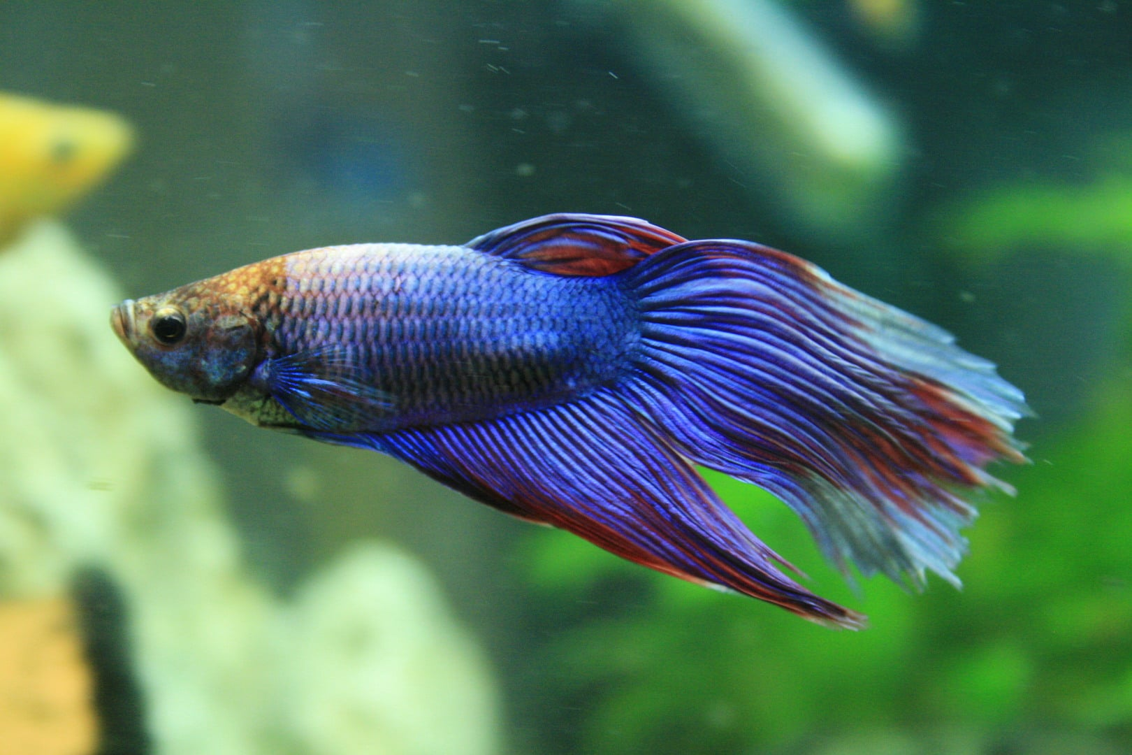 Poisson combattant - Betta splendens