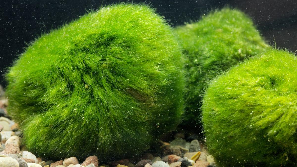 plantes en Aquarium