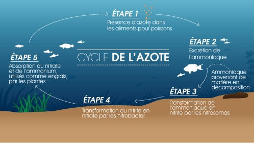 Cycle de l'Azote dans un Aquarium