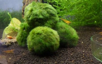Cladophora aegagropila une algue bénéfique
