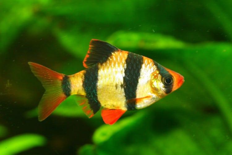Barbus de Sumatra