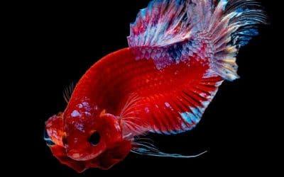 Le poisson combattant alias betta splendens dans votre Aquarium