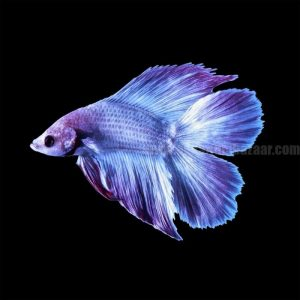 betta double tail